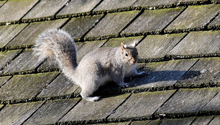 Removing Squirrels And Keeping Them Out Of Your Home