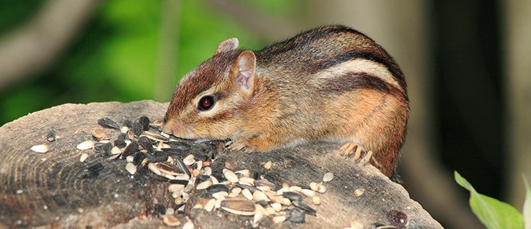 chipmunk eating birdseed on a stump