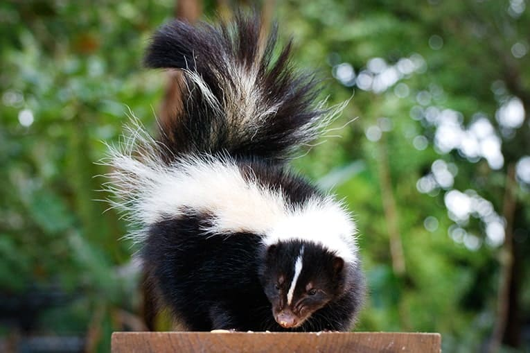 Skunk Removal Duluth, Lawrenceville GA | Skunk Control ... Raccoon With Rabies