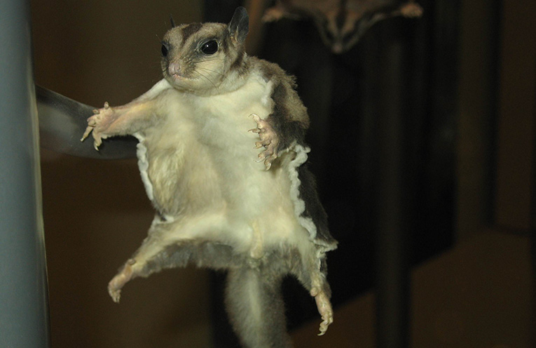 How To Remove Flying Squirrels From The Attic Attic Kings