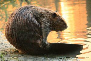 Beaver Removal Duluth GA