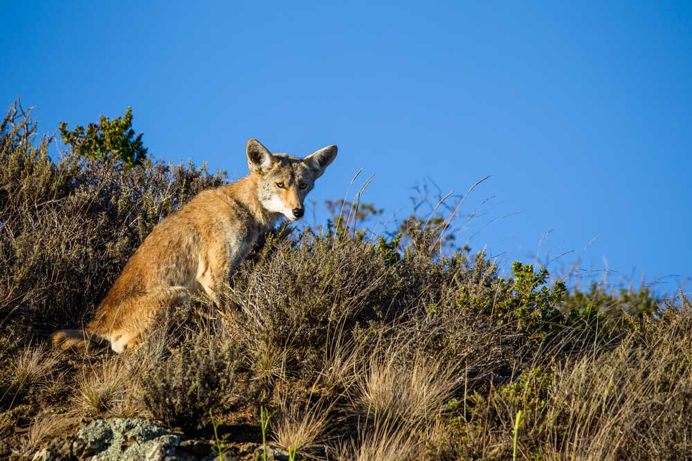 a coyote sitting on a hill
