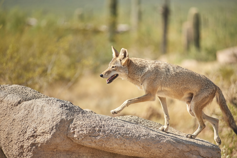 a coyote walking in the desert