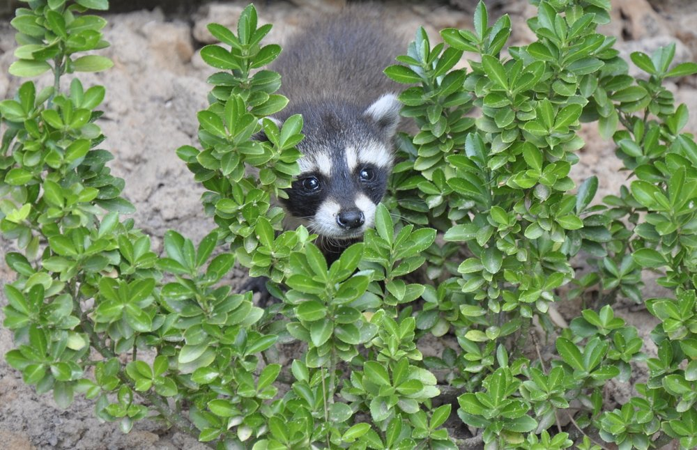 a raccoon hiding in a bush