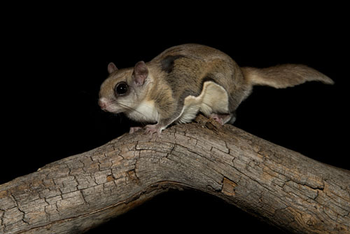 flying squirrel at night