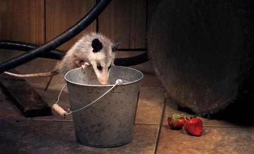 an opossum looks into a bucket