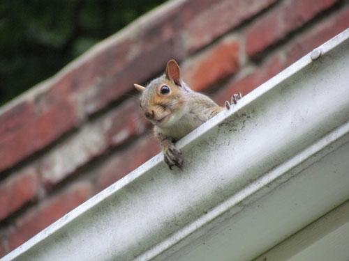 squirrel in gutter