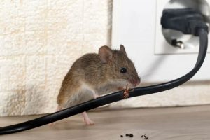 Rodent Removal In Peachtree Corners Ga Attic Kings